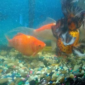 mi goldfish