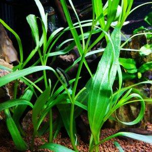 Pez come algas y plantas