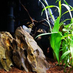 Caracol, rocas y plantas de acuario