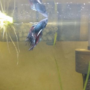 Betta Splendens crowntail