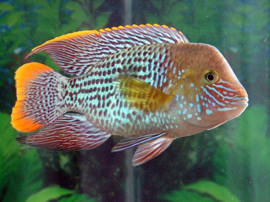 Aequidens rivulatus acuario adictos for Pesci acqua dolce