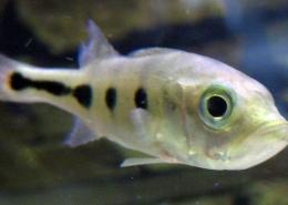 Cichla Ocellaris