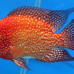"Cichlasoma sp ""Red Parrot"""