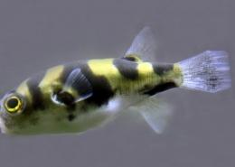 Colomesus Asellus