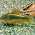 """Corydoras cf. Aeneus """"Gold"""""""