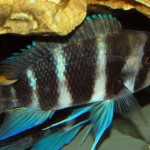 Cyphotilapia sp. North Burundi