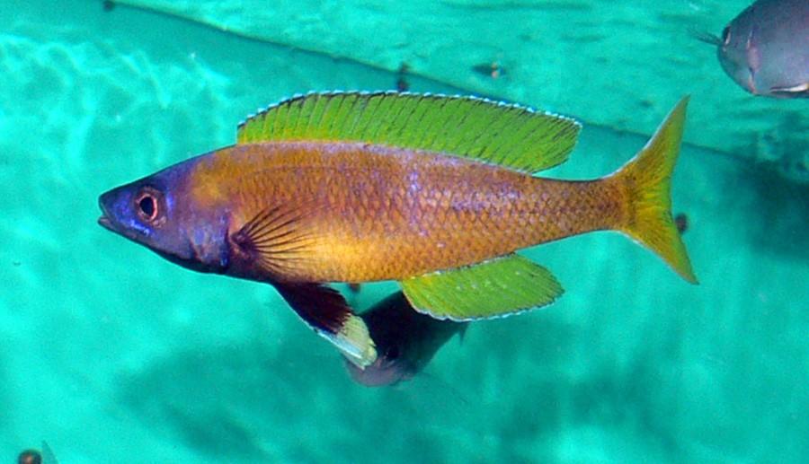 Cyprichromis Leptosoma