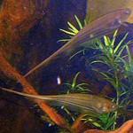 Eigenmannia Trilineata