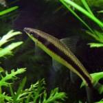 Epalzeorhynchos Kalopterus