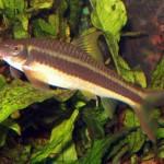 Garra Cambodgiensis