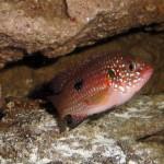 Hemichromis Bimaculatus