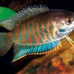 Polyacanthus Fasciatus