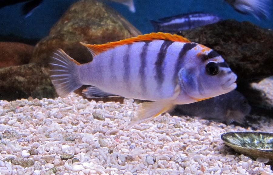 Labidochromis sp. Hongi - Acuario Adictos
