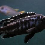 Melanochromis Interruptus