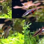 Nannostomus Trifasciatus