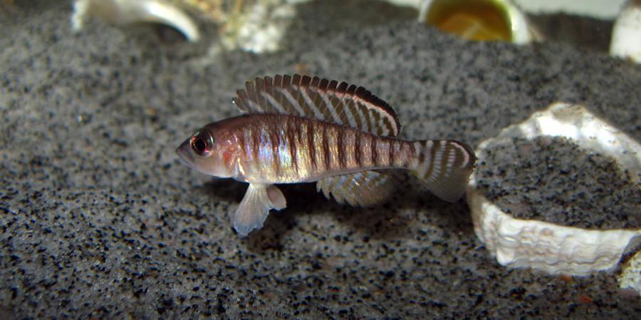 Neolamprologus Signatus
