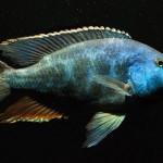 Nimbochromis Livingstonii