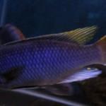 Pseudotropheus sp. Acei