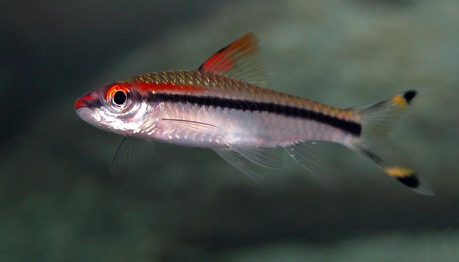 Puntius Denisonii