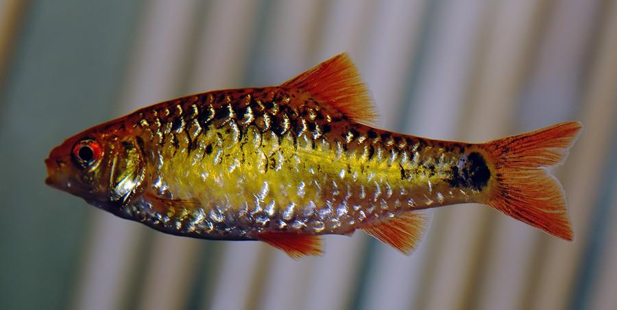 Puntius Semifasciolatus