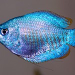 Trichogaster Chuna