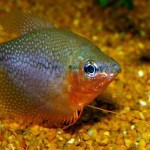 Trichogaster Leerii