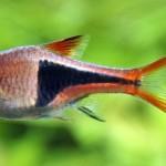 Trigonostigma Heteromorpha