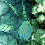 Acanthurus Triostegus