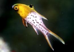 Bodianus Anthioides