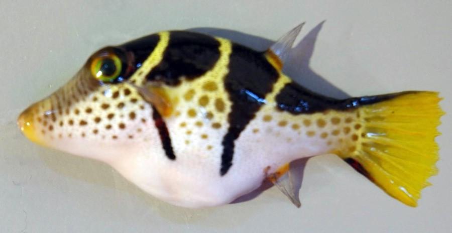 Canthigaster Valentini