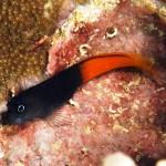 Ecsenius Bicolor
