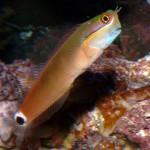 Ecsenius Stigmatura