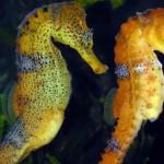 Hippocampus Reidi