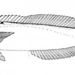 Hoplolatilus Fourmanoiri