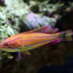 Paracheilinus Mccoskeri