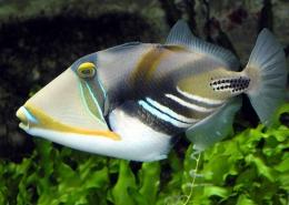 Rhinecanthus Aculeatus