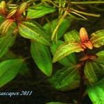 Aciotis Acuminifolia