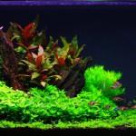 Alternanthera reineckii 'Purple'