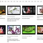 Letra A para el Atlas de Plantas de Acuarios de Agua Dulce