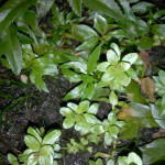 Cuphea Anagalloidea