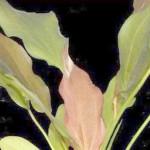 Echinodorus 'Kleiner Bar'