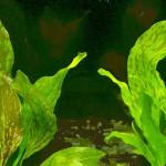 Echinodorus 'Ozelot Verde'