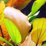 Echinodorus 'Red Special'