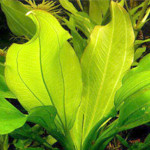 Echinodorus cordifolius ssp.fluitans