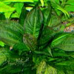 Echinodorus Parviflorus'Tropica'