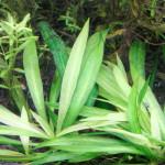 Echinodorus 'Quadricostatus'