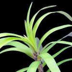 Eichhornia Diversifolia